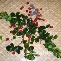 Triphasia trifolia CITRUS LIMEBERRY FRUIT TREE