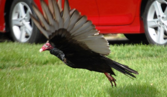 A turkey vulture spotted in a neighborhood takes flight