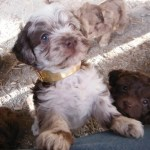 Chocolate merle shihpoo puppies for sale shih tzu mini poodle mix breed