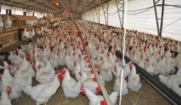 Avicultura argentina.