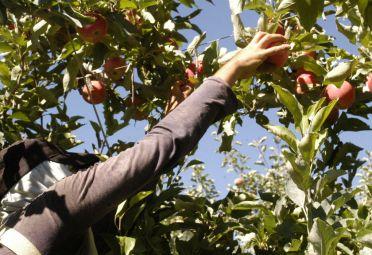 manzanas_fruticultura_neuquén