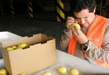 Certificación de la primera exportación de limones a Europa en 7 años desde el sur de Santa Fe. FOTO: Senasa.
