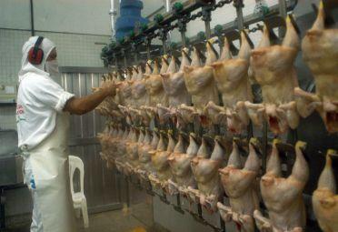avicultura_pollo