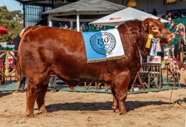 El Gran Campeón Macho Limangus fue vendido por $70 mil. FOTO: Twitter.
