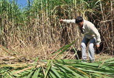 Cañero tucumano. FOTO: Ministerio de Agroindustria.