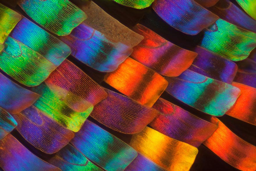 butterfly-wing-macro-photography-linden-gledhill-1