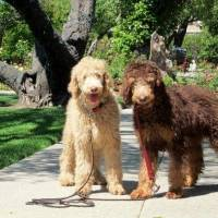 Standard Poodle Puppies - April 13, 2014