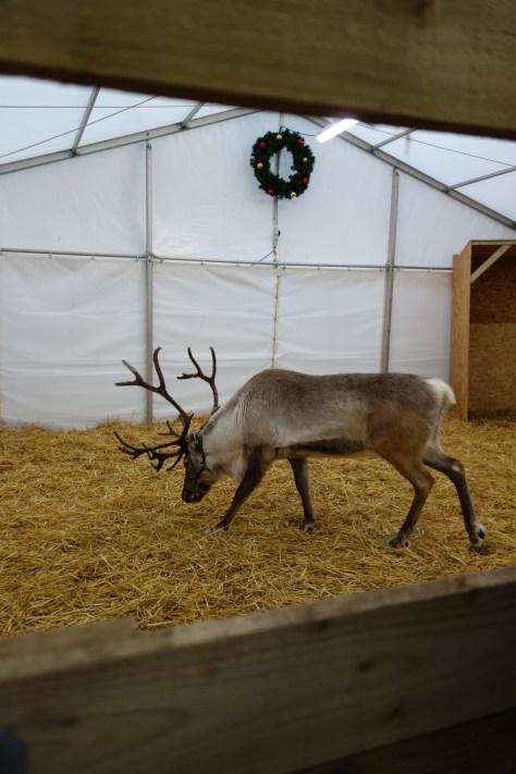 Reindeer in Surrey