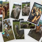 Fabulous Day Out with Purl Alpaca