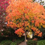 Autumn tree - orange and red Chinese pistachio April 2013