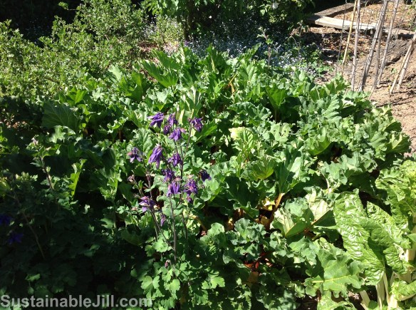 Rhubarb patch with spring flowers and gooseberries