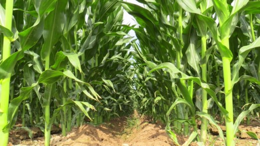 Spainmaize