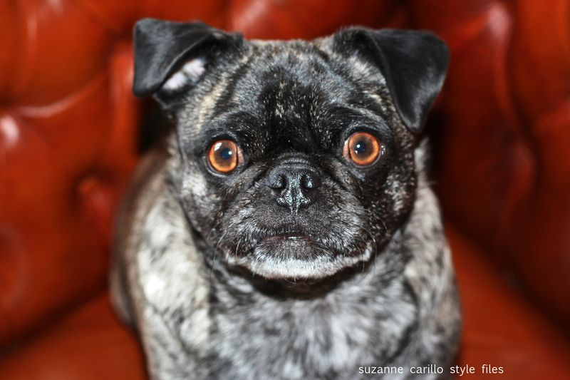Ginger the brindle pug suzanne carillo style files
