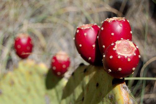 Prickly-pear-cactus-fruits-big-bend-national-park