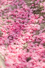 Fallen Pink Flower Petals in Peach Tree Orchard