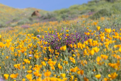 California_poppies-10