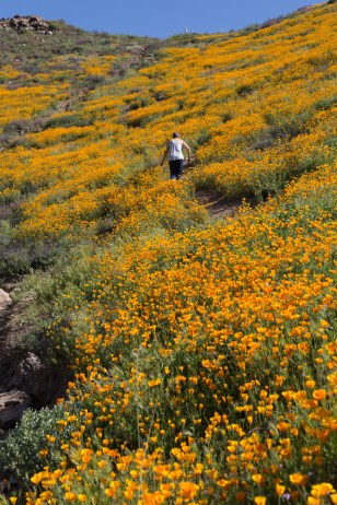 California_poppies-113
