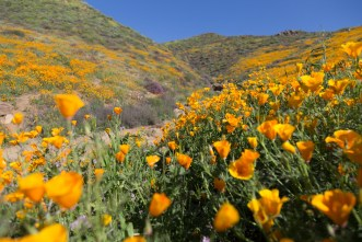 California_poppies-117