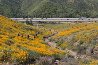 California_poppies-137