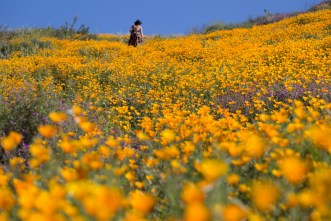 California_poppies-143