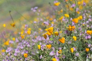 California_poppies-16