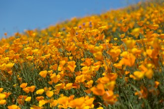 California_poppies-168