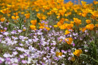 California_poppies-189
