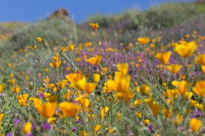 California_poppies-75