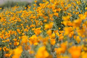 California_poppies-81