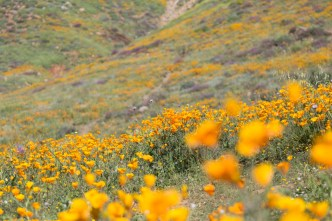 California_poppies-87
