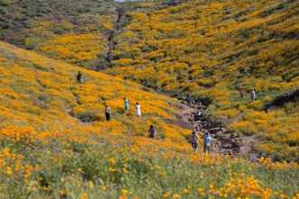 California_poppies-89