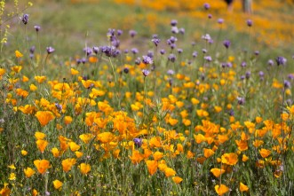 California_poppies-92