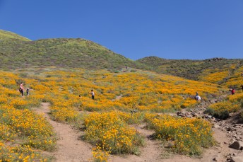 California_poppies-94