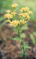 wild miniature daisies