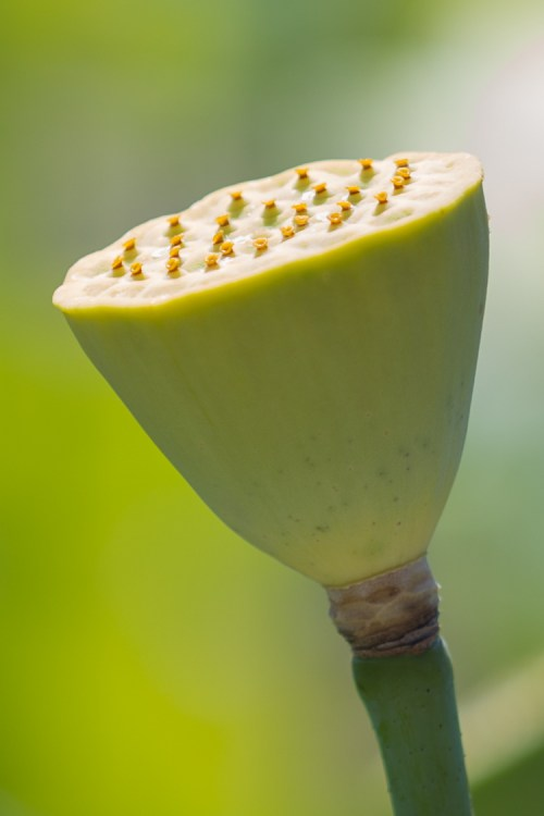 Lotus flower seed pod