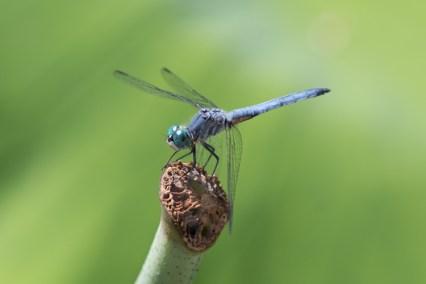 Blue dragonfly macro