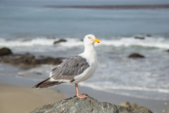 California seagull