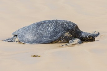 Galapagos Sea Turtle on Floreana beach to lay her eggs