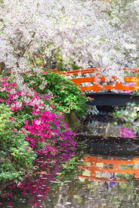 'Akebono' Cherry Blossoms at Descanso Japanese Garden