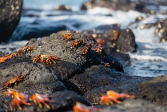 Wild Sally Lightfoot Crabs on Mosquera Island, Ecuador