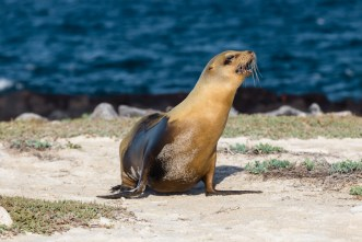 Wild sea lion on Mosquera Island, Ecuador