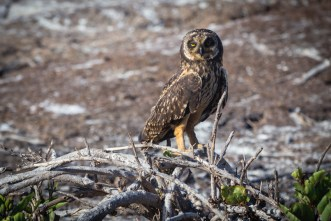 Short Eared Owl on Genovesa Island