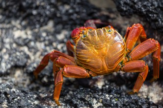 Wild Sally Lightfoot crab on Floreana Island in the Galapagos
