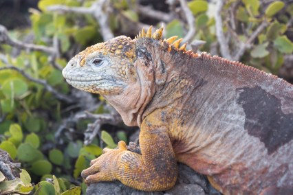 Galapagos Iguana on South Plaza Island, Ecuador