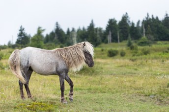 wild pony in highlands