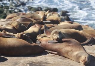 wild sea lions sleep