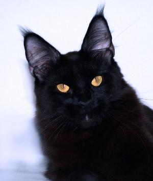 кошка мейн кун черного окраса питомника Svargas