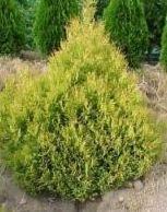 Хвойные растения для сада фото и названия - Низкорослая туя для сада