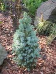 Хвойные растения для сада фото и названия - ель
