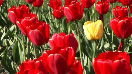 Тюльпаны: посадка и уход